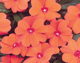 Impatiens-Orange -  50 seeds
