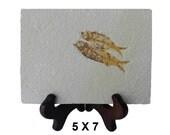 """Fish Fossil (5"""" x 7"""")  FFF-012 A002"""