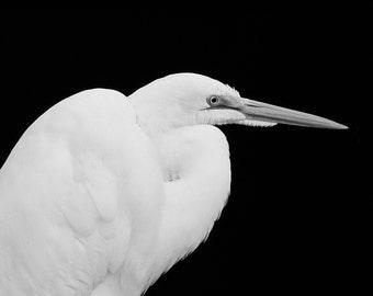 Fine Art photograph of Great Egret at Ding Darling National Wildlife Refuge Florida