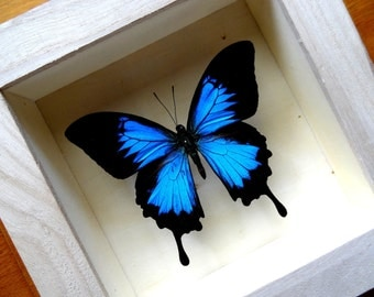 Real Papilio Ulysses Framed - Taxidermy - Collectibles - Home Decoration