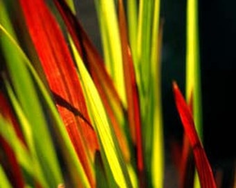 Japanese Blood Grass Plants - Imperata Red Baron - Gallon Pot
