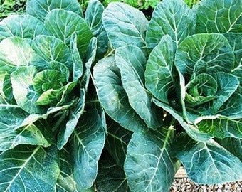 Collard Greens - Georgia Southern (100% Heirloom/Non-Hybrid/Non-GMO)