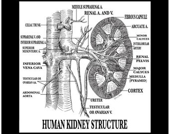 Human Kidney Structure Typography Art on Canvas 20x20