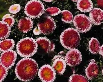 Red Moon Aster Flower Seeds / Pompon / Annual  20+