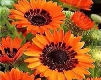 Orange Prince Venidium Flower Seeds / Annual   50+
