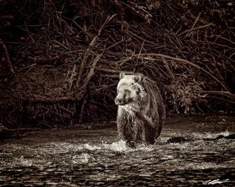 Grizzly Bear Cub in Stream