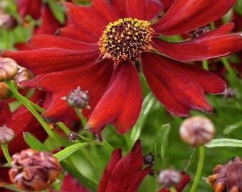 Coreopsis Mahogany Midget Flower Seeds (Coreopsis Tinctoria) 50+Seeds