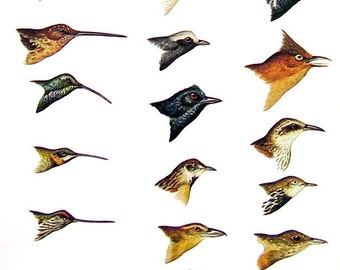 Small Bird Print - Bird Heads - Goldenthroat, Thornbird, Antbird, Spinetail, Xenops  - South American Birds - 1970 Vintage Book Page - 9 x 6