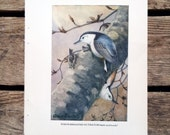 vintage 1930s White-Breasted Nuthatch book illustration for framing