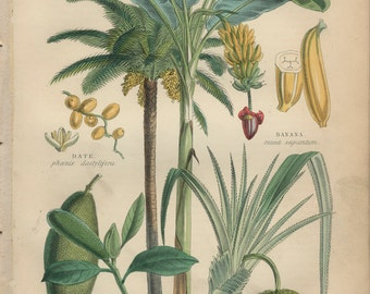 Food Plants, Jack Fruit, Pandanus, Screw Pine, Antique Botanical Engraving 8, Hand Colored, Kitchen Print Decor, Country Cottage