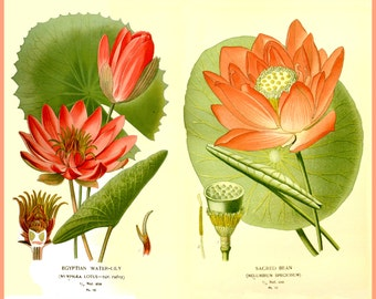 antique botanical illustration egyptian water lily print DIGITAL DOWNLOAD