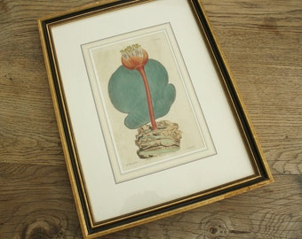 Antique Hand Colored Botanical Engraving 1814