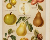 1893 Antique FRUIT print, Apple, pear, Old gorgeous chromolithograph