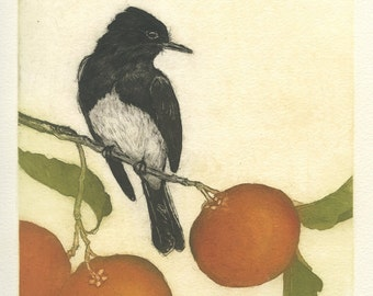 Black Phoebe in Citrus Tree, Original Fine Art Etching