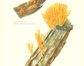 1963 Jelly Fungi, Yellow Stagshorn - Calocera viscosa, Common Jellyspot - Dacrymyces deliquescens Vintage Offset Lithograph