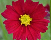 CLEARANCE SALE! Red Cosmos Annual Cut Flower for your English Cottage Garden and Summertime Bouquets of Fresh Flowers Rare Heirloom Seeds