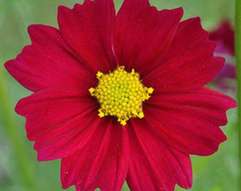 Red Cosmos Annual Cut Flower for your English Cottage Garden and Summertime Bouquets of Fresh Flowers Rare Heirloom Seeds