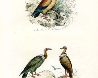 VULTURES King Vulture Carrion Griffon c.1850 Hand Colored/ Additional Free Vulture Antique Lithograph Included