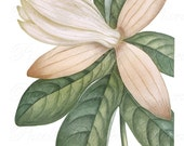 MAGNOLIA Instant Download, white magnolia flowers, wedding clipart, antique botanical illustration no.394