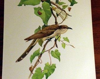JF Lansdowne Print Book Plate Art, Black-Billed Cuckoo