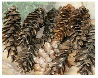 "Natural Pinecones,  2"" - 4"", Wedding, Christmas, Rustic Holiday Decor, Craft Supplies, A 401"