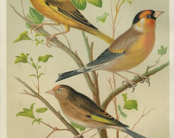 """Matted Antique Bird Print C. 1880 from Cassell's Canaries & Cage Birds Canary Finch and Linnet Antique Chromolithograph 11x14"""""""