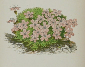 1885 Antique print of a MOSS CAMPION flowering plant. Cushion Pink. Silene acaulis. Wild flowers. Alpine plants. 130 years old lithograph