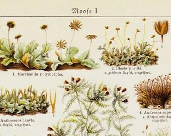 1924 Antique moss  print. Mosses and fungi,  Scientific classification