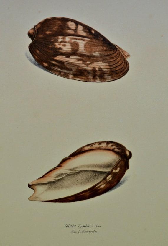 Voluta cymbium. Exotic conchology print. 1968. Vintage book plate. Shell print. 11'3 x 9'2 inches.