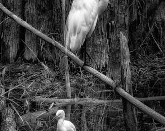 Great egret, Florida. Photographic print 8x10, 11x14