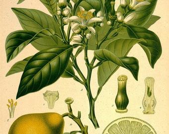 antique botanical print bergamot plant and fruit illustration digital download