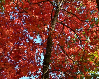 Bright Red Autumn Leaves in North Carolina