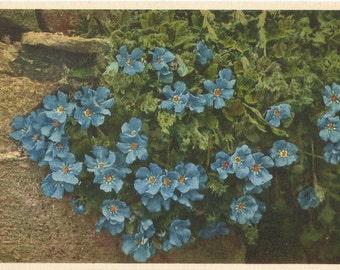 Vintage Unused Botanical Postcard, ca.1940s, Roi des Alpes by Thor E. Gyger, Switzerland  #1395