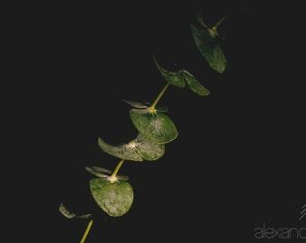 Photograph, Eucalyptus Plant