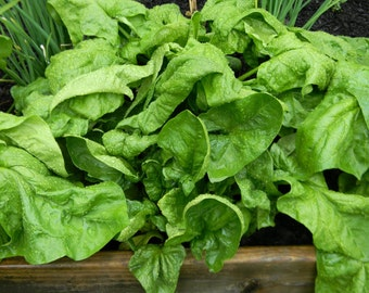 Spinach Seeds- Organic- Gigante D'Inverno- 200+