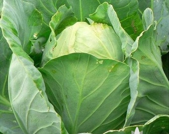 Early Jersey Wakefield Cabbage Heirloom Seeds - Non-GMO, Open Pollinated, Untreated