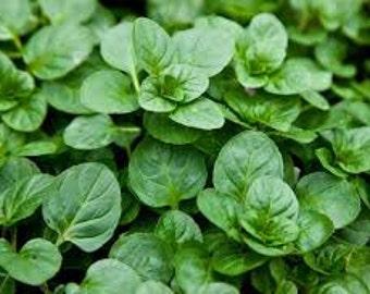 Orange Mint Seeds, Mentha piperita 'Citrata', Culinary Herb, Perennial Plant, Medicinal Herb, Used for Tea