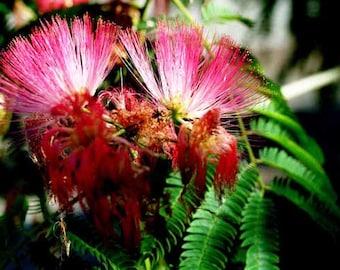 Albizia Julibrissin - 25 Seeds - Silk Tree - Exquisite flowers!