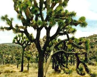 Yucca Brevifolia - 10 Seeds - Joshua Tree - Hardy -10 C