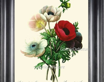 Botanical Print R10 Wall Art Beautiful Red White Anemone Flowers Spring Summer Garden Nature Gardening Gift Home Room Antique Decor