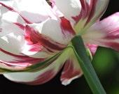 Hot Saturday Tulip 1
