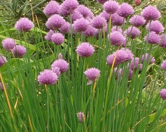 """Organic Heirloom Chives herb vegetable seed Perennial These chive grow 6-12"""" tall and have a mild onion flavor.2016 seeds"""