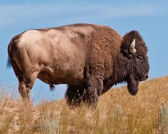 Neil Reichline Photo, American Buffalo, Wyoming