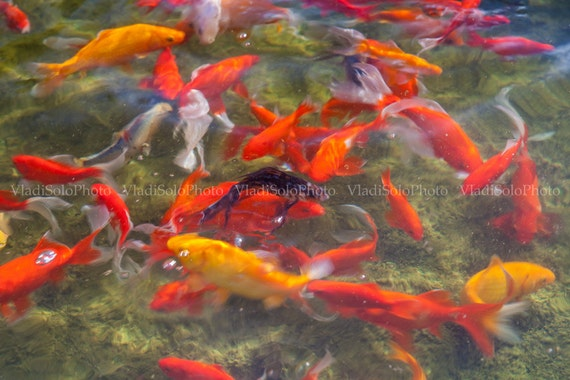 Items similar to orange fish photography koi fish for Orange coy fish