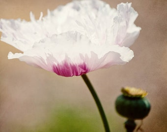 nature photography, flower photo, white home decor, purple home decor, spring decor, poppy flower