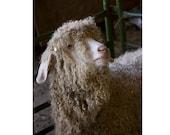 Angora Goat  Art Print, Animal Photography, Rustic Decor, Cottage Chic Decor, Farm Animal Art