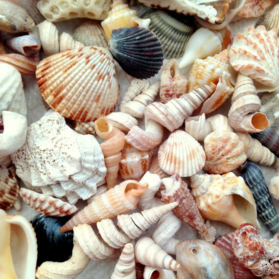 Shellapalooza Assortment Of Natural Florida Seashells