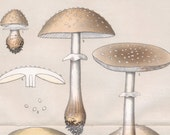 1895 Vintage Botanical Print of Mushrooms. Edible Fungi.  Amanita Rubescens. Plate 16.