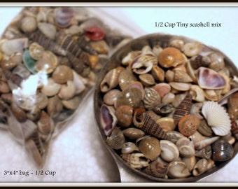 Sea shells in a 3x4 bag-3 oz of shells-Medium polished shells for terrariums-Vivariums-Weddings-Craft Projects and More