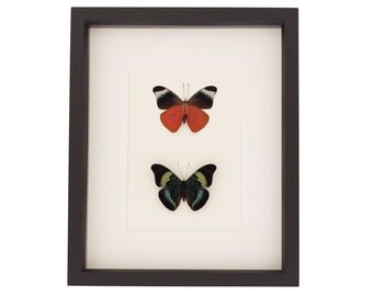 Framed Butterfly Set Red Flasher Mounted Insect Display
